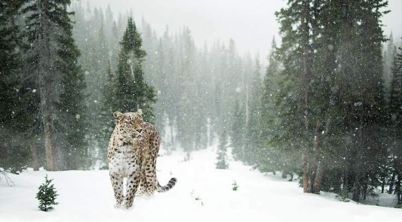 positive-news-snow-leopard.jpg