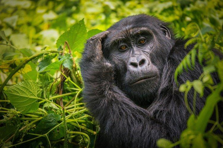 positive-news-gorillas-nature.jpg