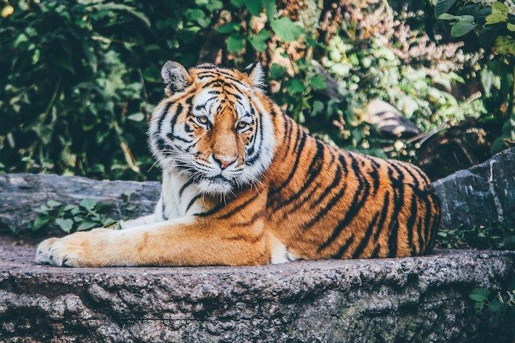 positive-news-january-tiger.jpg