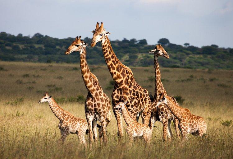 feel-good-news-giraffe.jpg