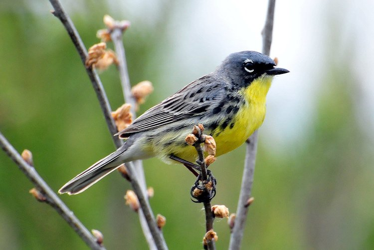 feel-good-news-kirtland-warbler.jpg