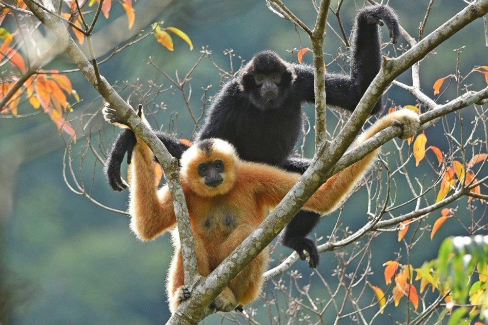 hainan-gibbons.jpeg