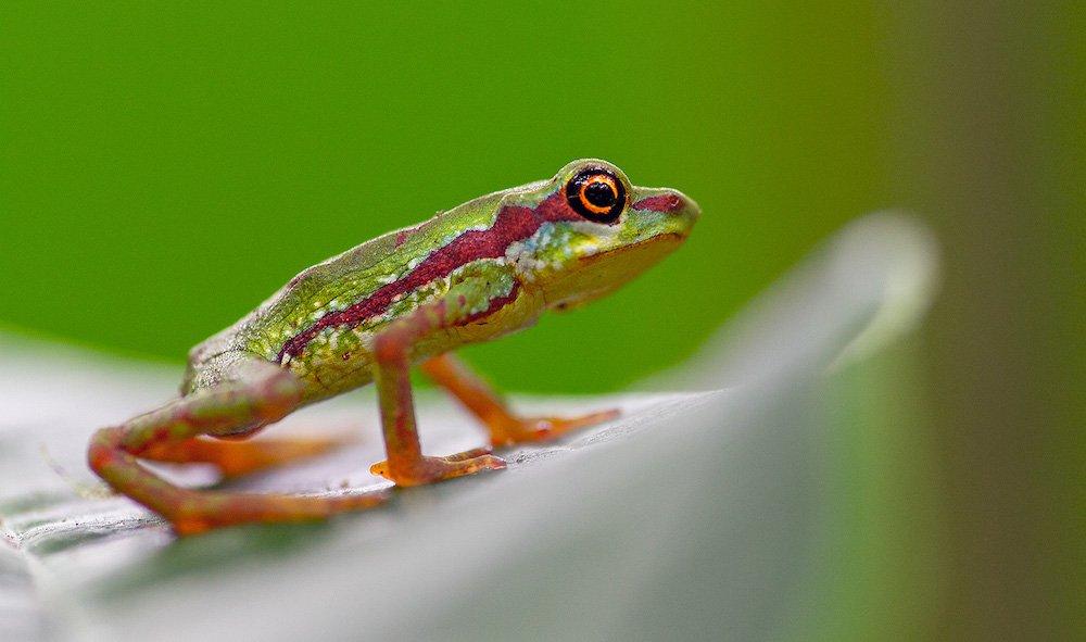 harlequin-toad-feel-good-news.jpg