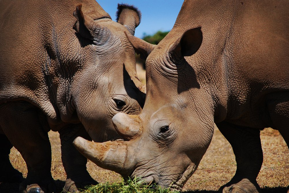 feel-good-news-white-northern-rhino.jpg
