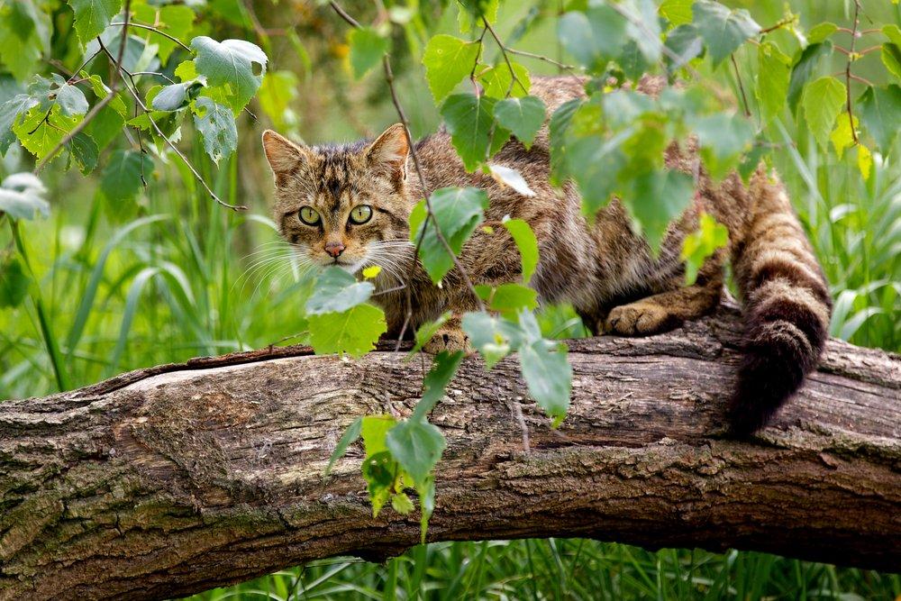 positive-news-wildcat.jpg